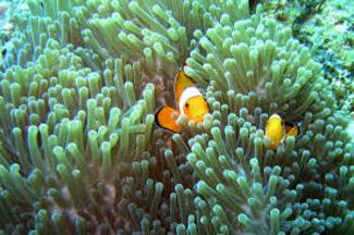 poisson clown et anémone à  Ko Phi Phi Island