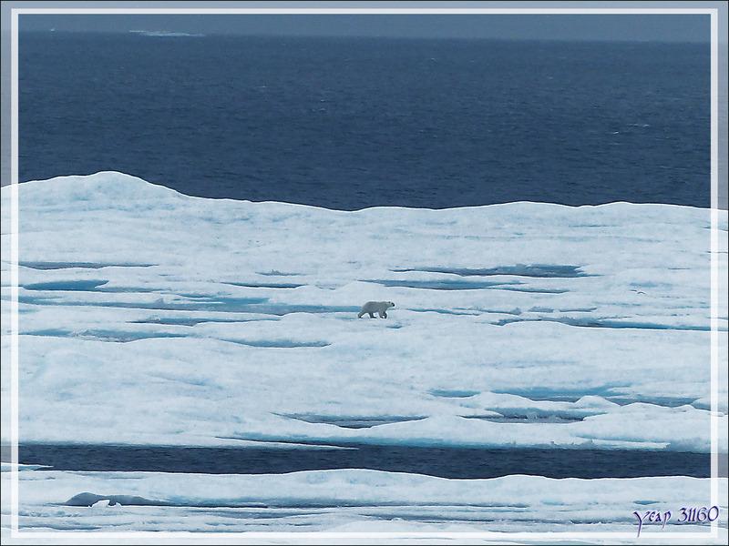 Et au loin, observation du premier ours blanc (Polar bear) - Lancaster Sound - Nunavut - Canada
