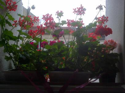Exit les pucerons ... mais exit les fleurs aussi ...