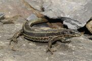 Aran rock lizard (Iberolacerta aranica) from the the Val d'Aran in Spain