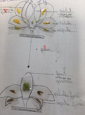 Une belle dissection florale d'ajonc