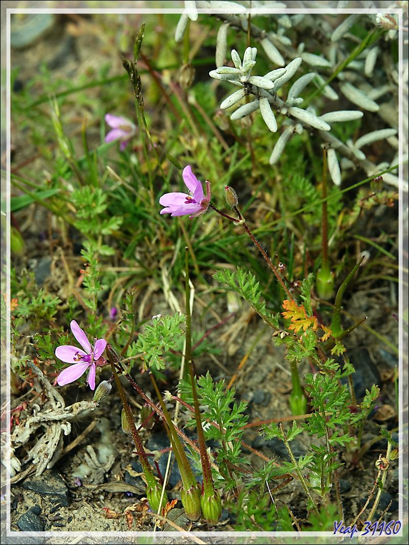 Géranium Bec de grue, Alfilerillo, Tachuela (Erodium ciculatrium) - Torres del Paine - Patagonie - Chili