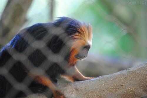 (4) Le tamarin lion à tête dorée.