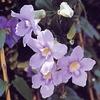 Collinsia bicolor