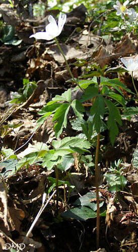 Anemone nemorosa - anémone des bois