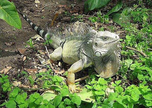 Iguana iguana colombia2
