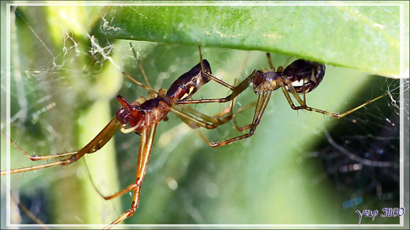 """Les Araignées Linyphies triangulaires (araignées à """"diapason"""") (Linyphia triangularis) vivent en couple - Lartigau - Milhas - 31"""