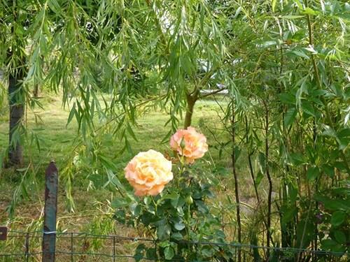 rosiers