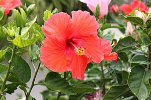 hibiscus rouges