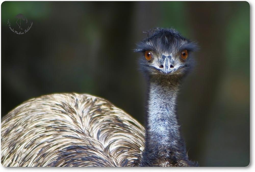 Portrait d'Emeu (Parc Darwin de Montpellier)