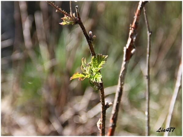 Nature-2-5010-framboisier.jpg