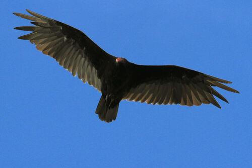 Uribu à Tête Rouge (Turkey Vulture)