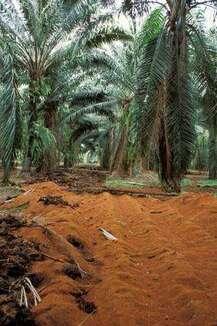 Une plantation de palmiers à huile en Thaïlande. Sur le sol, un amendement organique. © IRD / Jean-Pierre Montoroi