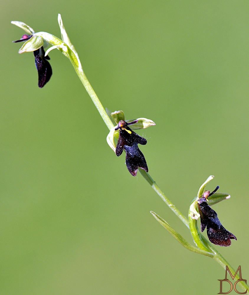 "OPHRYS "" MOUCHE """