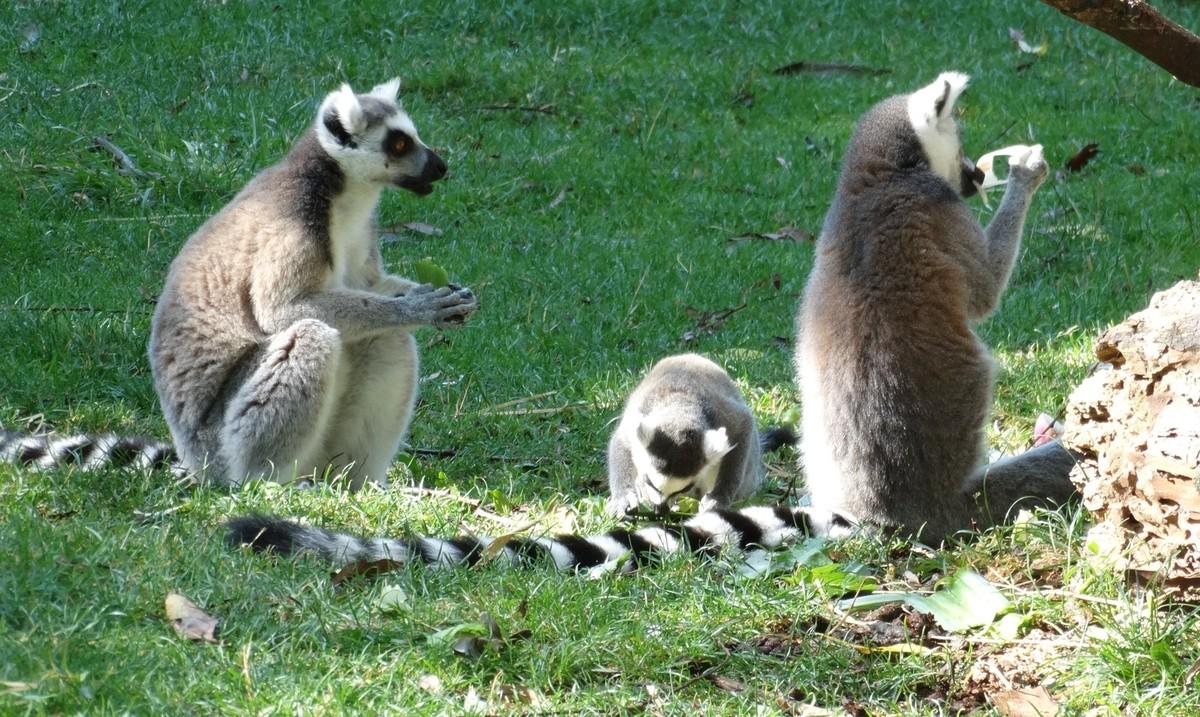 Photo prise au zoo de Beauval en juillet 2016. De gauche à droite : Madame Maki - Petit Maki - Monsieur Maki (dit Mamour)