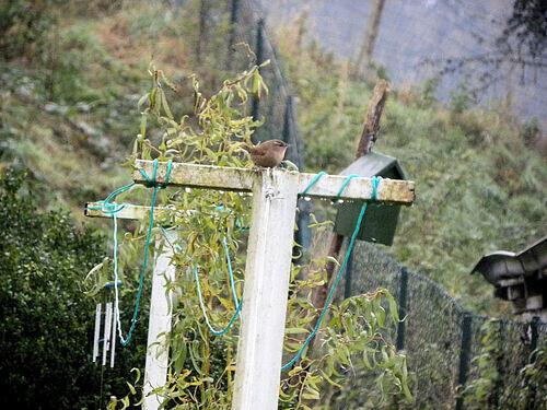 Pipites au jardin