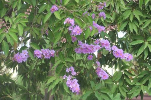 Toujours des fleurs, au Laos