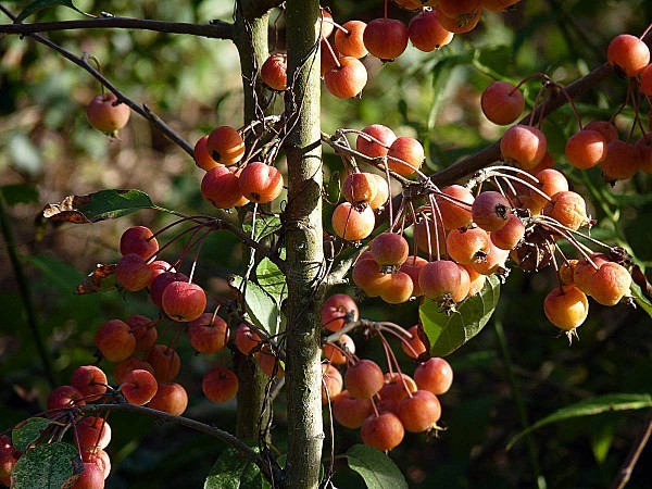 Pommes ornement 01