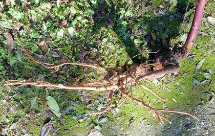 Phytolacca americana - raisin d'Amérique