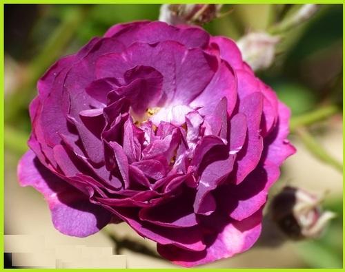 'Violetta'