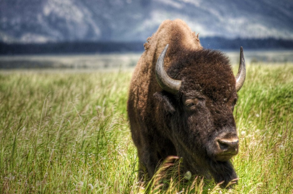 american-bison-940x624