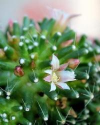 Mammillaria Painteri Monstuosus en fleur
