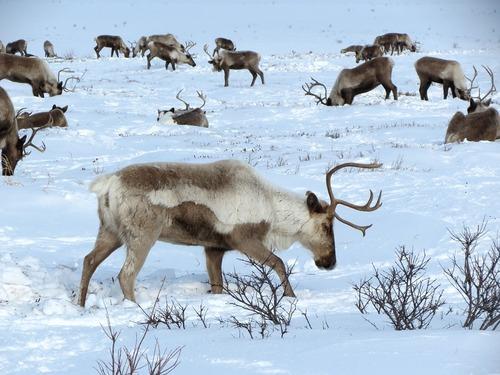 Les caribous menacés par le réchauffement climatique