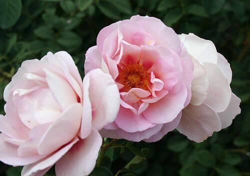 Les Roses de Warren : Hubba Dubba