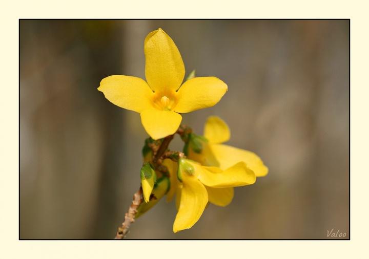 Fleurs de Forsythia au printemps