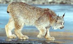 Les animaux de la montagne TPS/MS