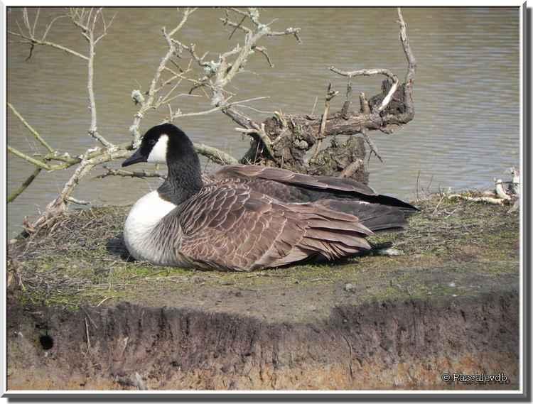 Parc ornithologique du Teich - bernache du Canada