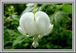 Le cœur-saignant des jardins