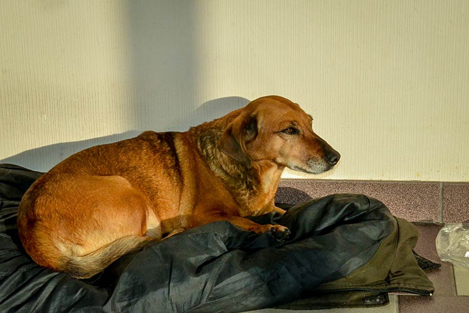 Несахарного диабет у собаки симптомы