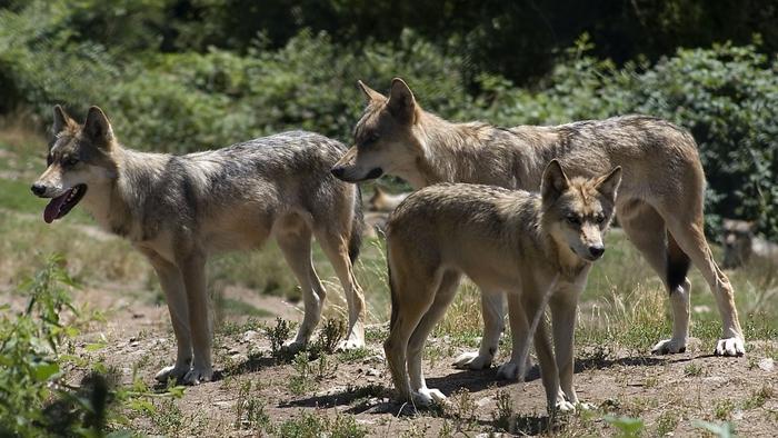Loups en Haute-Savoie et Savoie
