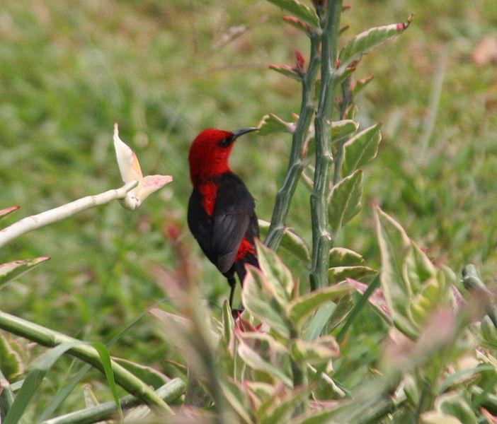702px-Cardinal Myzomela