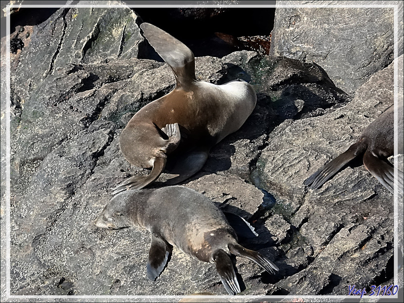 Colonie d'Otaries à fourrure australe, South American fur seal (Arctocephalus australis) - New Island - Falkland (Malouines, Malvinas) - Grande-Bretagne