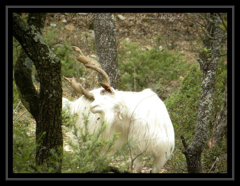 Chèvres de Girgentana au Domaine de Coulondre