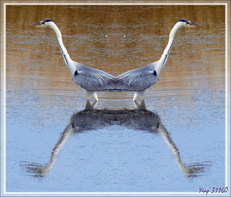 Héron cendré, Grey Heron (Ardea cinerea) - La Couarde-sur-Mer - Ile de Ré - 17