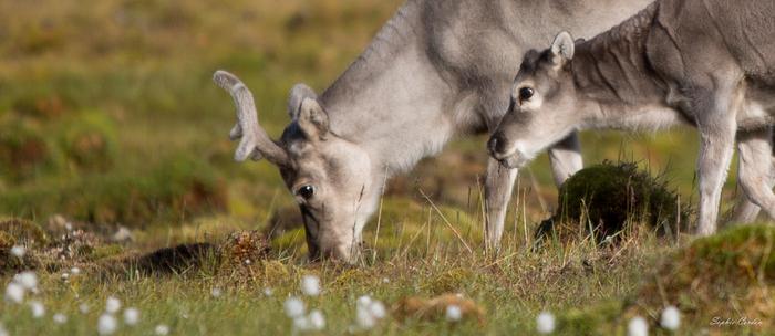 Bébés rennes dans Bjørndalen