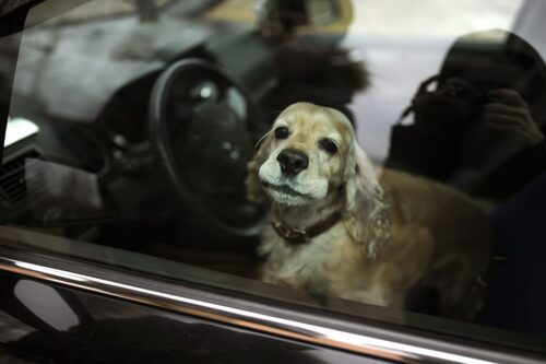 Que faire si on trouve un chien dans une voiture en plein soleil