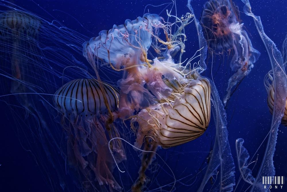 Le bal des méduses