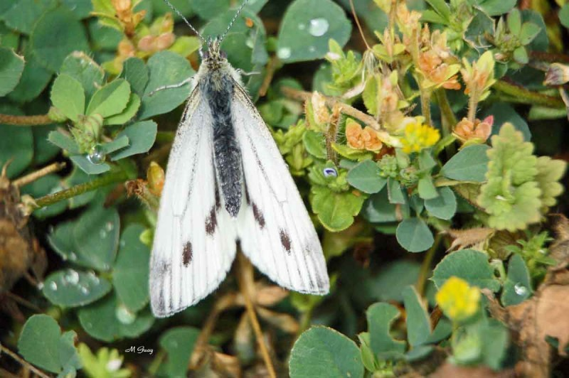 papillon-blanc-060.jpg
