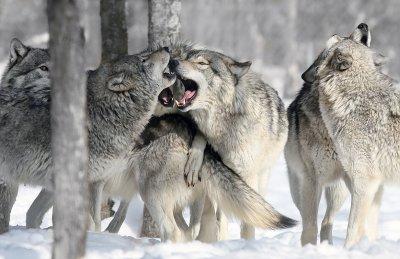 """Résultat de recherche d'images pour """"meute loups noir et blanc"""""""