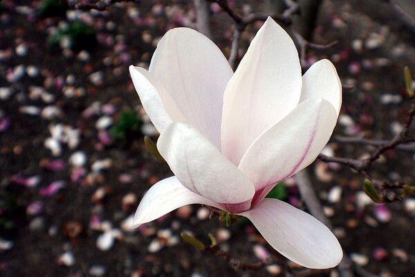 Le magnolia fournit de belles fleurs odorantes mais aussi une écorce renfermant une molécule qui semble détruire les cellules cancéreuses. © Marit & Toomas Hinnosaar, Flickr, cc by 2.0