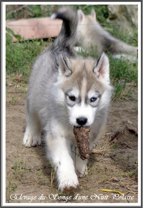 Petits Huskys se font les dents (J+52 : 4 octobre 2012)