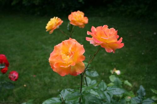 La roseraie de Provins. 77