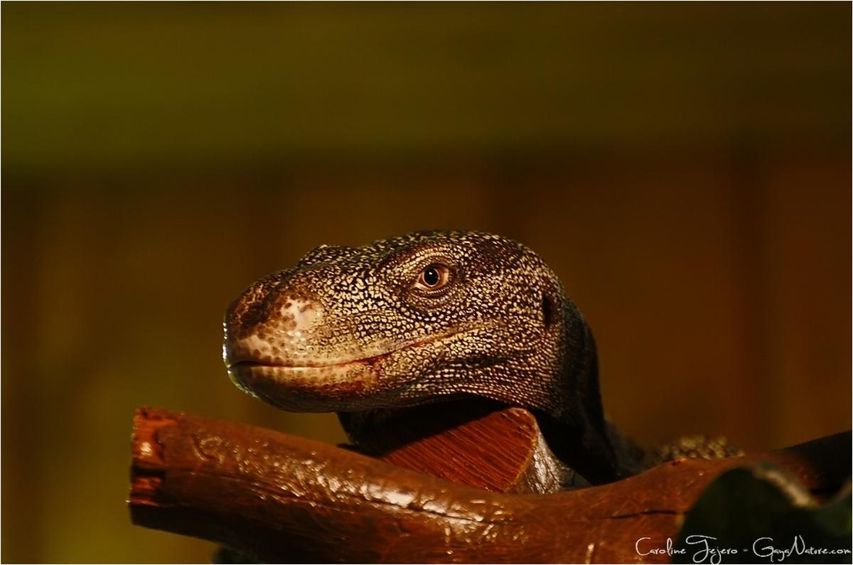 Varan crocodile