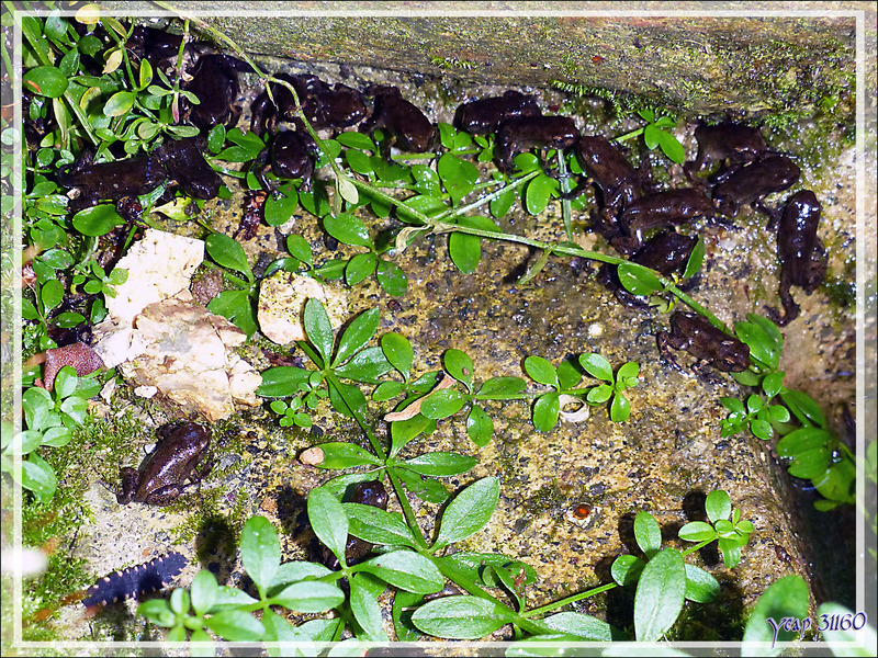 Les jeunes Crapauds et la Grenouille rousse - Lartigau - Milhas - 31