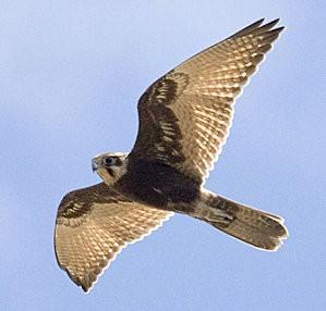 faucon-berigora-vol