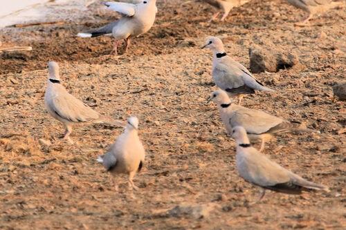 Tourterelle du Cap (Ring-necked Dove)